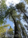 Reach for the Sky.  White pines as viewed from their bases looking up into the treetops.  Copyright Vicki McKay, e-Scapes Photography.