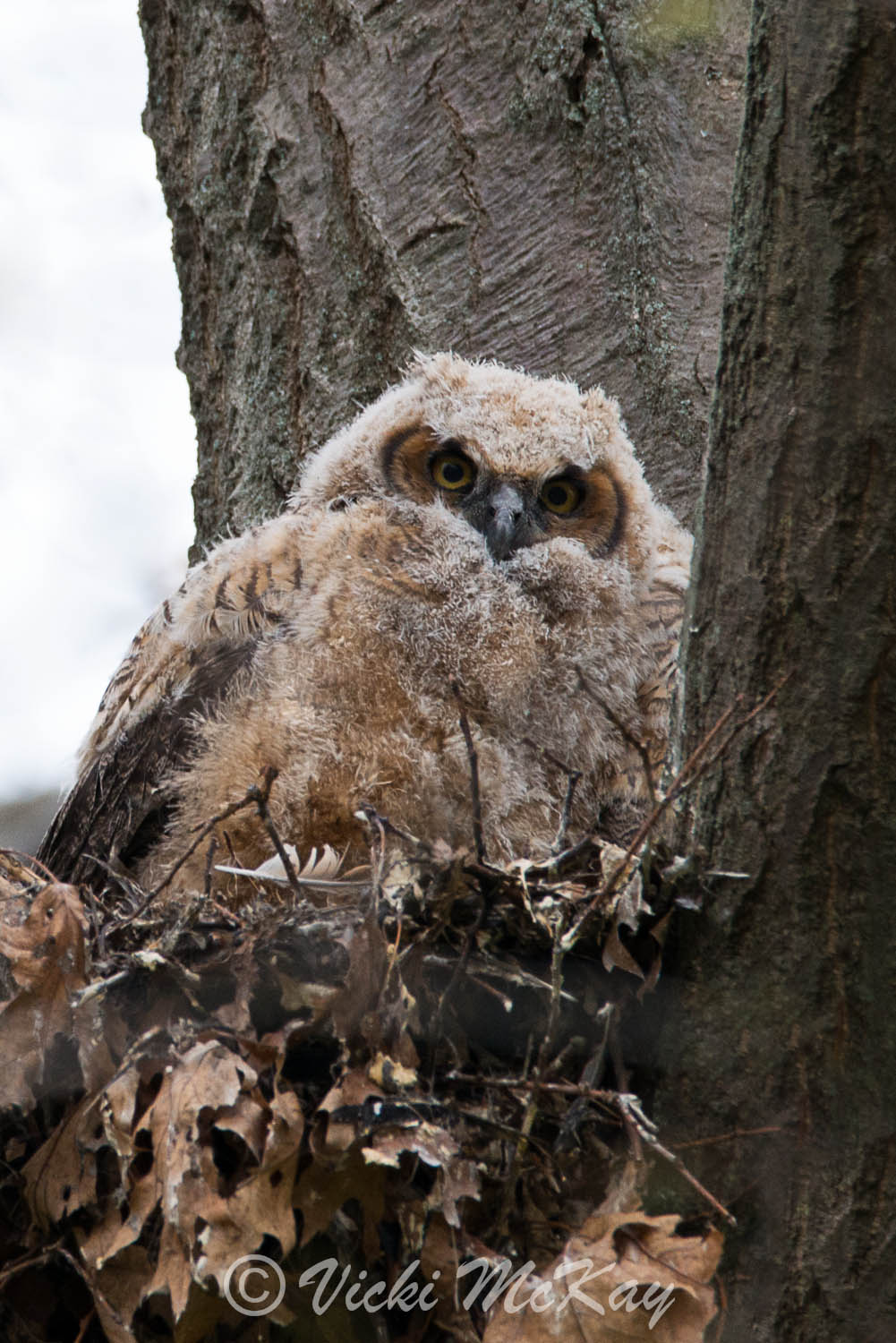 Fluffy baby Great Horned Owl, still in the nest just prior to fledging