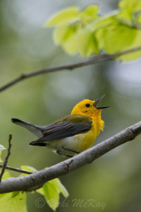 Singing male Prothonotary Warbler entitled Shout Out