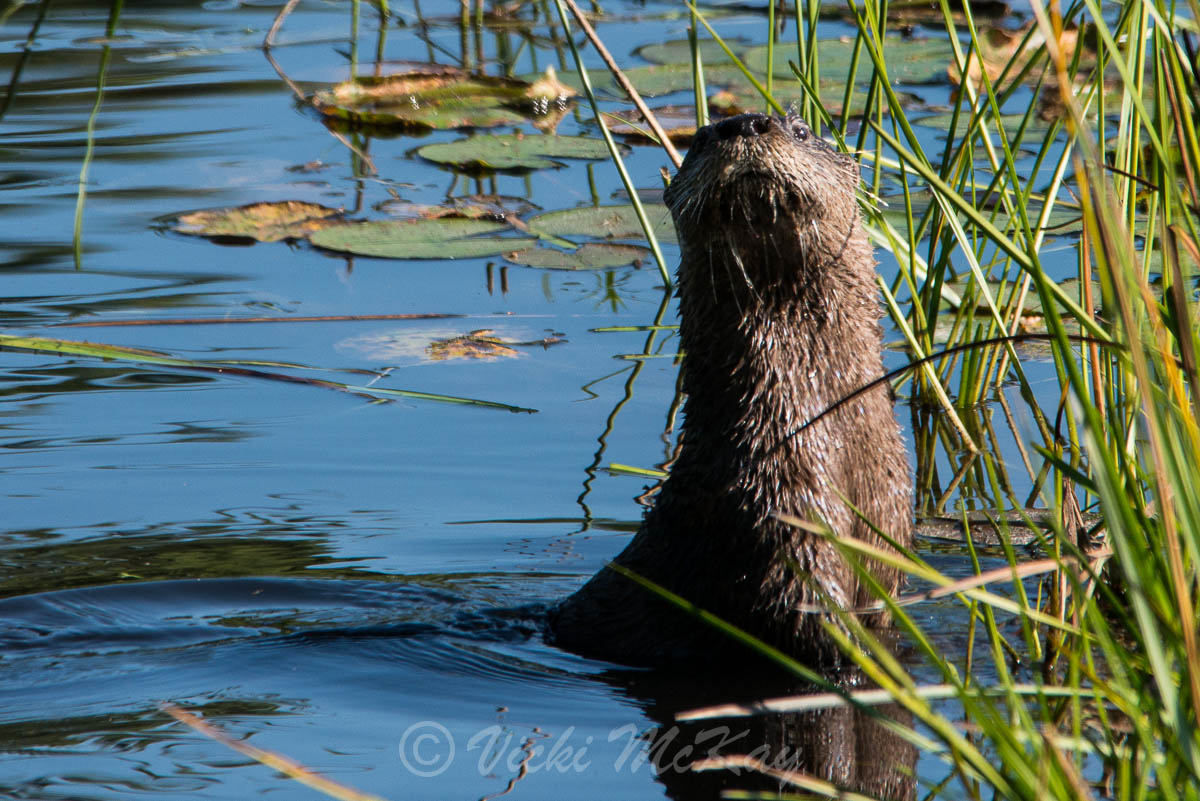 Photo of a River Otter being inquisitive by Vicki McKay, e-Scapes Photography