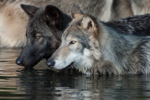 A pair of Timber Wolves (black & regular phase) looking in the same direction